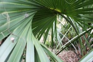 Small plant in Centenary's Arboretum, Sunday, Feb. 15, 2015, in Shreveport Louisiana. Many of the plants continue to thrive in cold winter months.
